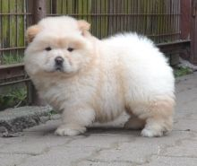 Adorabe Chow Chow Puppies Now Ready For Adoption