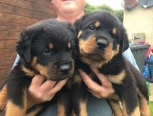 Affectionate Rottweiler puppies available now