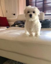 Beautiful Maltese Puppies For A New Home