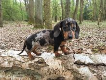 Charming Ckc Reg Dachshund Puppies For Adoption