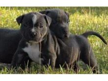Magnificent American Pitbull terrier Puppies For Re-homing