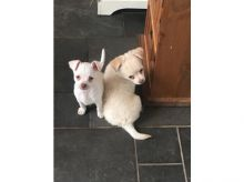 Reg Ckc Chihuahua Puppies for New Home.