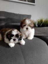 Reg Ckc Shih Tzu Puppies For Adoption