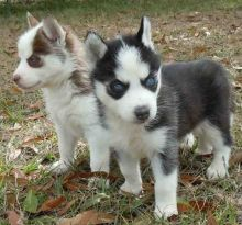 Cute Blue Eye Siberian Husky Pups Available
