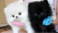 Cute Teacup Pomeranian pups Available Black and white