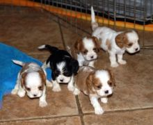 Exceptional Cavalier King Charles Spaniel Pups