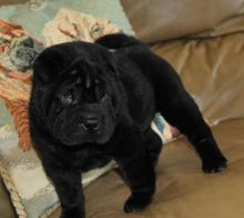 Passionate Chinese Shar-Pei Puppies For Adoption