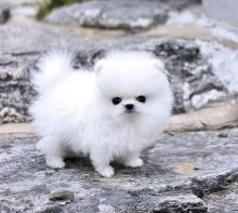Thick Coats Ice White Tea Cup Pomeranian Puppies