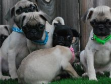 Pug Puppies ready for Good Homes