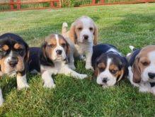Cute Tri Coloured Beagle Puppies Available