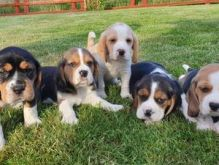 Tri Coloured Beagle Puppies Available
