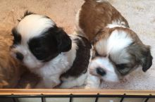 *Adorable Shih Tzu Puppies Available*