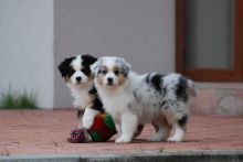Gorgeous Australian Shepherd puppies available Image eClassifieds4U