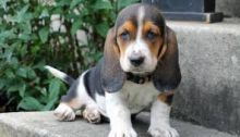 Lovely and Caring Basset hound puppies