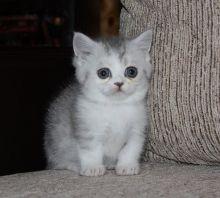 Beautiful Munchkin kittens