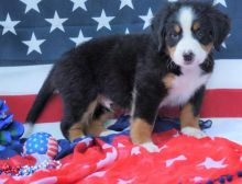 outstanding family pets and loyal soulmates. Bernese mountain puppies