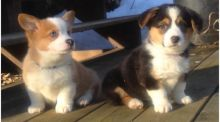 Cute Pembroke Welsh Corgi Puppies Available
