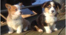 Pembroke Welsh Corgi puppies Rehoming