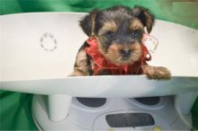 Yorkshire Terrier Puppies - FREE to good homes