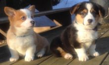 Cute Pembroke Welsh Corgi Puppies Available Image eClassifieds4U