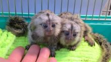 Marmoset and Capuchin monkeys Available Image eClassifieds4u 2