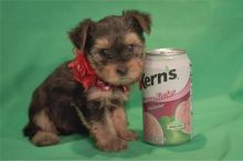 Yorkshire Terrier Puppies - FREE to good homes Image eClassifieds4u 3