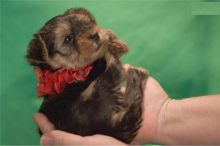 Yorkshire Terrier Puppies - FREE to good homes Image eClassifieds4u 2