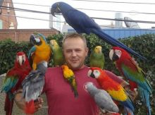 Blue & Gold/Hyacinth macaw/African grey & atoo parrots ready