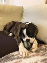 Boxer Puppies For Adoption