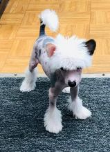 Chinese Crested Dog For Adoption
