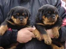 Cute Rottweiler Puppies Available
