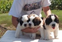 Cute Saint Bernard Puppies for re-homing