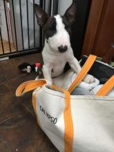 Bull Terrier Puppies For Adoption Image eClassifieds4U