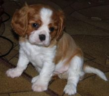 Cavalier King Charles Spaniel Puppies For Adoption Image eClassifieds4U