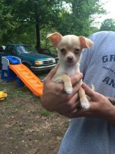 Chihuahua Puppies For Adoption Image eClassifieds4U