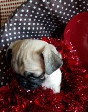 Healthy Male And Female Pug Puppies For Adoption Image eClassifieds4U