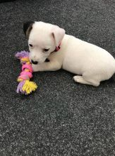 Jack Russell Terrier Puppies For Adoption Image eClassifieds4U
