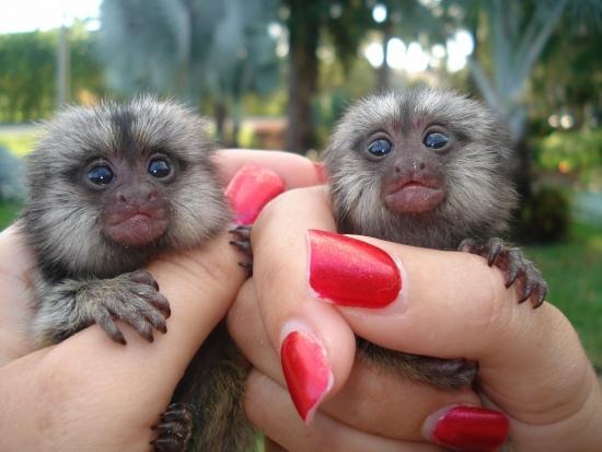 Well Trained Marmoset and Capuchin Monkeys ready Image eClassifieds4u