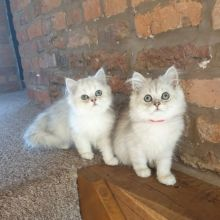 Cute Persian Kittens Currently Available text 410 449 0527