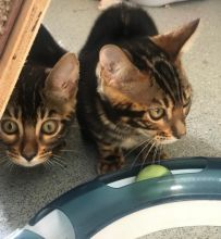 Registered Bengal Cat for Adoption text 410 449 0527