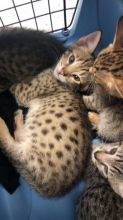 Well Socialized F1 and F2 Savannah Kittens Available text 410 449 0527