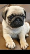 Beautiful Pug puppies for adoption. Call or text @(431) 803-0444