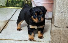 Pure Bred Rottweiler Puppies for adoption. Call or text @(431) 803-0444