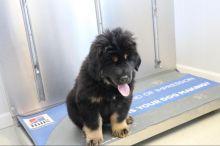 Tibetan Mastiff puppies For Adoption