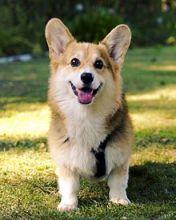 Pembroke Corgi puppies for adoption. Call or text @(431) 803-0444 Image eClassifieds4U
