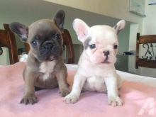 Adorable Male and Female French Bulldog puppies . Call or text @(431) 803-0444