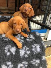 Vizsla Puppies For Adoption