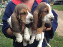 Excellent Basset Hound Puppies ready to go. Call or text @(431) 803-0444
