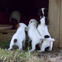 Parson Jack Russell Terrier Puppies text (408)-721-4323