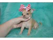 Chihuahua puppies ready to go. Call or text @(431) 803- Image eClassifieds4u 1